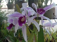 Minha orquídea!!!!!2013