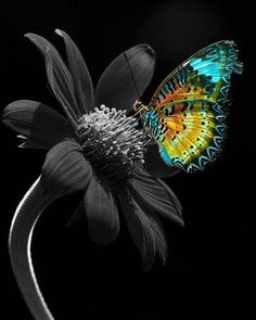 We see in color, and we think in black and white./Vediamo a colori e pensiamo in bianco e nero. Butterfly Pictures, Butterfly Flowers, Beautiful Butterflies, Splash Photography, Color Photography, Black And White Colour, Black And White Pictures, Black Colors, Color Splash Photo