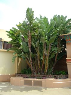 """Strelitzia nicolai - Giant Bird of Paradise. Max ht about 20"""" - existing trees in yard -- should probably add a few more in corner. ------- In stock at Moon Mountain. 2' boxes have 2-3 stems. Approx $299 installed"""