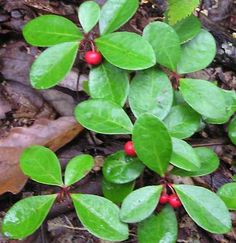Live Wintergreen Teaberry Plants for Garden, Terrarium, Fairy Garden