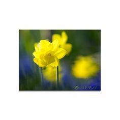 Blumenbild auf Leinwand, Fototapete oder Kunstdruck:  Windiger Frühlingstag mit Narzissen