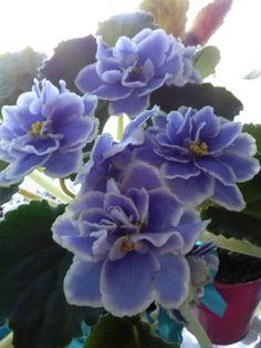 African violet Moonstone (Lebetskaya)