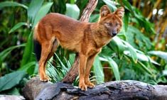 Jeremy Hance: Little-known by scientists and largely ignored by conservationists, the wild Asian dog – or dhole – faces widespread deforestation, poisonings, lack of prey and disease. Can a few dhole champions save this tough predator? Endangered Tigers, Endangered Species, Asian Dogs, Oriental, Rare Animals, Odd Animals, Strange Animals, In Natura, Most Beautiful Animals