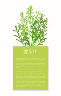 Rosemary aroma plant isolated on white background, tasty spices cooking herbal condiment for various food, ingredient vector illustration text sample