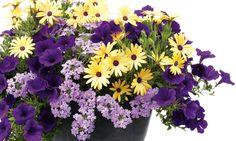 Proven Winners - Lemon Symphony Osteospermum, Large Lilac Blue Verbena, Royal Velvet Petunia