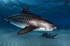 """------------------------- ------------------------- image source The tiger shark (Galeocerdo cuvier) is a species of requiem shark and the only member of the genus Galeocerdo. Commonly known as the """"Sea Tiger"""", the tiger shark is a. Underwater Creatures, Ocean Creatures, Orcas, Save The Sharks, Types Of Sharks, Shark Bait, Delphine, Great White Shark, Shark Week"""