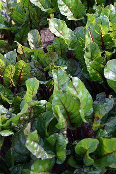 Schattenverträgliches Gemüse - Mangold, Blattmangold