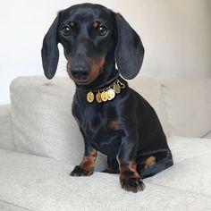 Black and Tan dachshund Dachshund Facts, Dachshund Puppies, Weenie Dogs, Dachshund Love, Pet Dogs, Dogs And Puppies, Black And Tan Dachshund, Dog Expressions, Dog Eyes
