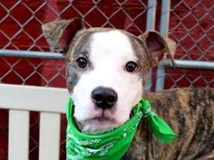 TO BE DESTROYED 12/05/14 Manhattan Center -P  My name is MUSCLES. My Animal ID # is A1021509. I am a male br brindle and white am pit bull ter mix. The shelter thinks I am about 1 YEAR 1 MONTH old.  I came in the shelter as a STRAY on 11/23/2014 from NY 10162, owner surrender reason stated was STRAY.