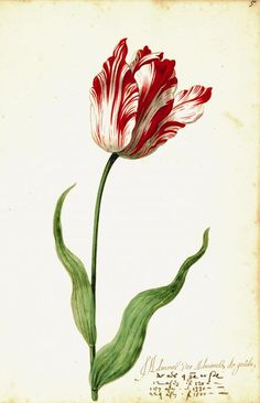 Print from Great Tulip Book: Admirael De Gouda
