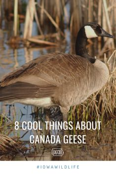 Canada geese can be seen all across Iowa. Check out these fun facts about Canada gee Fun Facts About Canada, Hunting Stuff, Notebook Ideas, Big Bird, Canada Goose, Iowa, Nature Photography, Wildlife, Backyard