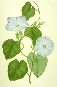 Ipomoea indica drawn during the Endeavor voyage of 1769-1771 overseen by Captain James Cook.  A full collection is available at The Botany Library at London's Natural History Museum.