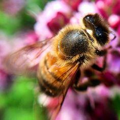 Bee  Macro bug Foto Daniela Libralon