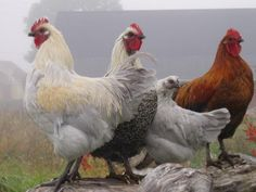 Swedish Hedemora hens