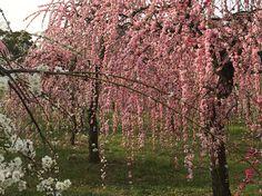 しだれ梅祭り@名古屋農業センター