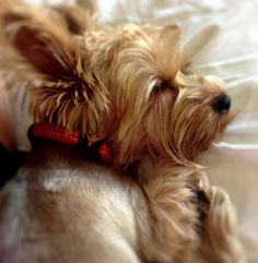 Yorkie Puppy makes me think of my gorgeous Gamelle