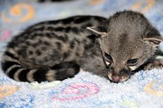 """""""Meet Toby, a two week-old Large Spotted Genet that was admitted to our centre this week by a caring member of the public. Weighing in at a mere 200 grams, Toby, the orphaned genet is now under the intensive care of Clinic Nurse, Kelly whose duties include giving Toby his two-hourly bottle feeds 24 hours a day. Toby has a long road ahead of him, but should all go as planned, he will be ready for release in March 2014. We'll be sure to keep you updated on young Toby's progress!"""""""