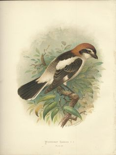 Woodchat Shrike by H Gronvold Chromolithograph antique Bird Print 1910