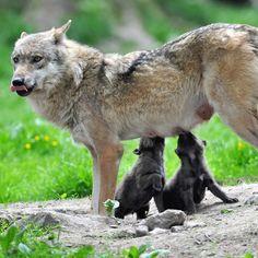 She wolf nursing Animals And Pets, Baby Animals, Cute Animals, Wolf Spirit, Spirit Animal, Beautiful Creatures, Animals Beautiful, Of Wolf And Man, Malamute