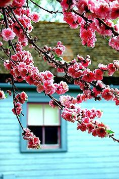 bloesem - blossom
