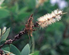 About an herb ~ Niraouli