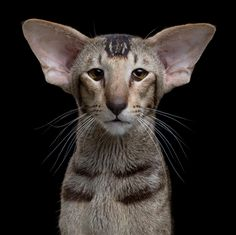 Here Are All The Cat Breeds You Never Knew Existed Oriental Shorthair