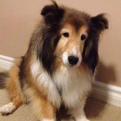 Sheltie Dog/ looks like my Wiley