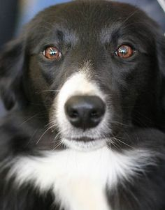 Love Border Collie eyes.: