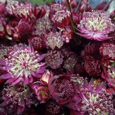 @trianglenursery posted to Instagram: Astrantia of Love is a gorrgeous mauve colour tone perfect as a filler for a wedding bouquet #instacolorful #mauve #instacolor #purple #violet #colorgram #weddings #weddingflowers #weddinginspo