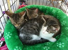 The ARPO kittens @BRFM last weekend. If you would like to help give these guys a good home visit adoptarpo.org.