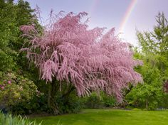 Tamarix tetrandra (Tamarisk). Posted on Northfield Editions FB page.