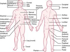 Looking for online definition of decubitus position in the Medical Dictionary? What is decubitus position? Meaning of decubitus position medical term. What does decubitus position mean? Human Muscular System, Muscular System Anatomy, Basic Anatomy And Physiology, Medical Dictionary, Free Dictionary, Human Body Anatomy, Medical Anatomy, Positivity, Musica
