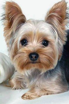 Positive Dog Training, Basic Dog Training, Training Dogs, Yorky Terrier, Terrier Dogs, Yorkshire Terrier Dog, Yorkshire Dog, Yorkie Haircuts, Easiest Dogs To Train