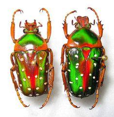 Flower Beetle or Flower Chafer - Stephanorrhina Guttata