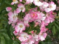 BallerinaGrowth Habit: Shrub, may be grown as a climber Year Introduced: 1930 to 1939 Bloom Type: Single Zone: Zone 5 Fragrance: Fragrance ff Rebloom: Rebloom rrrr Hybridizer: Bentall, John A. Height: 6-8 Feet Color: Light Pink Class: Hybrid Musk Bloom Size: Bloom Size 1  Special Uses Disease Resistant: Disease Resistant Hedge: Good as a hedge Climbing: Grow As Shrub or Climber Good for Cutting: Good for cutting Hips: Good for hips Shade Tolerant: Shade Tolerant