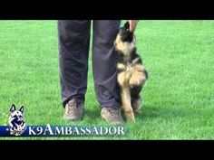 Puppy Training - Positive Method - 3 months old German Shepherd Dog / K9 Ambassador - YouTube