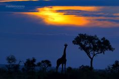 "Giraffe at Sunset by Mario Moreno on 500px. ""A Giraffe silhouetted against an iconic African Sunset. Image captured near Plains Camp, our base during the last photo tour conducted in Rhino Walking Safari's private concession in Kruger National Park."""