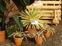Yucca gloriosa 'Bright Star' PBR