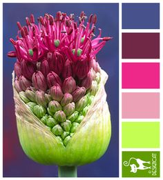 Allium: Pink, Purple, Green - Colour Inspiration Pallet