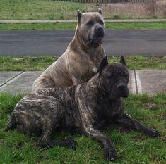 Houfek Mastiffs: [Page Name]You can find Mastiff dogs and more on our website.Houfek Mastiffs: [Page Name] Giant Dog Breeds, Giant Dogs, Baby Puppies, Dogs And Puppies, Chihuahua Puppies, American Bandogge Mastiff, Neopolitan Mastiff, British Mastiff, English Mastiff Puppies