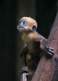 Young, blue-faced, Golden Snub-nosed Monkey, an endangered primate