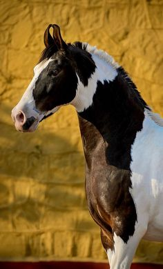 This rare, truly unique breed has received important exposure outside i… Marwari. This rare, truly unique breed has received important exposure outside its native India largely by the efforts of Russian photographer, Ekaterina Druz. All The Pretty Horses, Beautiful Horses, Animals Beautiful, Cute Horses, Horse Love, Horse Photos, Horse Pictures, Zebras, Cheval Pie