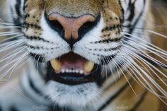 Tiger close up Photos Tiger close up by karrastock