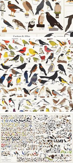 Birds, birds, birds! This print features over 740 feathered friends, from common sparrows, jays, and owls to rarer birds such as the Greater Sage-Grouse, the California Condor, and the Whooping Crane. Perfect for casual bird appreciators and superfans alike. #colossal