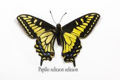 Anise Swallowtail Butterfly from Sonoma, California, Papilio zelicaon zelicaon, photograph by Darrell Gulin