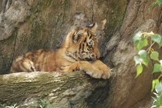 by Dorothy Turnbull - Animals Lions, Tigers & Big Cats ( orange, nikon d60, cat, tiger, rock, stripes, bengal, resting, zoo, dorothy turnbull, fur, paws, baby, kitty, black, dojo photo )