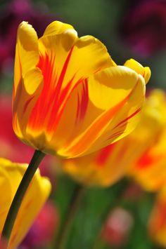 花の写真を 菊チューリップ 画像