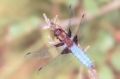 Broad-bodied Chaser - Broad-bodied Chaser (Libellula depressa)