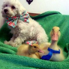 Lol.  I can't look at that little duck with the bow on it's head without laughing.  Poor thing.
