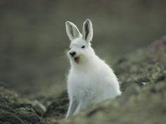 Arctic+Hare